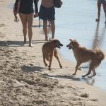 Ces chiens sur la plage de Tel-Aviv s'ébattent joyeusement (photo: xiquinhosilva/wikimedia commons).