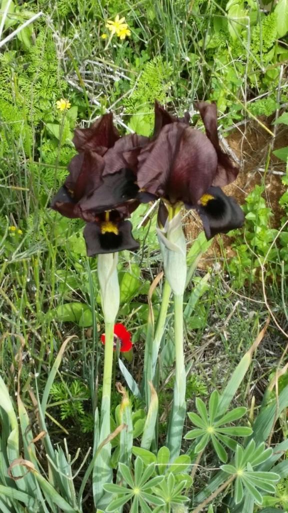 Le sud d'Israël n'est pas le seul à fleurir : cet iris noir, une variété très rare de fleurs, pousse dans le parc national de Netanya. (photo : Jacques Korolnyk)