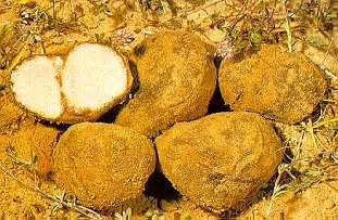 Truffes du désert récoltées en Israël (photo : université de Tel-Aviv, herbarium)