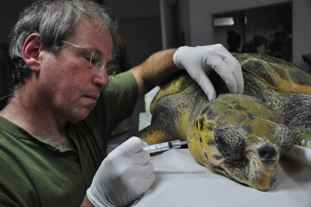 Une tortue marine soignée dans le centre de sauvetage (photo : Yaniv Levi)