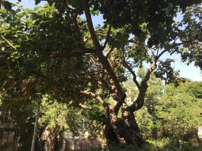 Tipuana tipu dans le centre de Tel-Aviv (photo: KHC).
