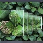 L'application Taranis exploite l'intelligence artificielle et un matériel spécial pour améliorer la rentabilité des cultures (photo : Presse).
