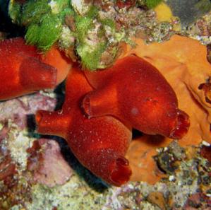 Les ascidies comme celles représentées ici peuvent renseigner sur les déchets micro-plastiques dans les mers et les océans (photo: Elapied, Wikipedia).