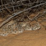 Vipère à cornes aperçue lors de notre excursion dans le désert du Néguev (photo : Aviad Bar).