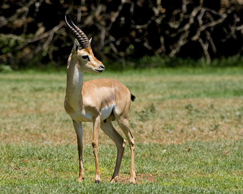 Certaines espèces de gazelles sont menacées d'extinction en Israël et leur population ne cesse de décroître (photo : Von Bassem18, CC BY-SA 3.0, https://commons.wikimedia.org/w/index.php?curid=3234316)