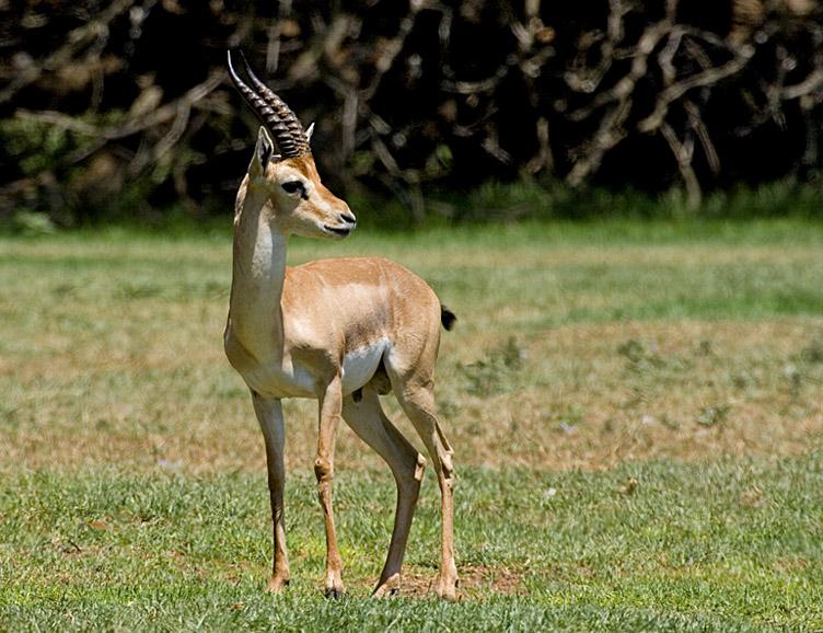 Certaines espèces de gazelles sont menacées d'extinction en Israël et leur population ne cesse de décroître (photo: Von Bassem18, CC BY-SA 3.0, https://commons.wikimedia.org/w/index.php?curid=3234316)