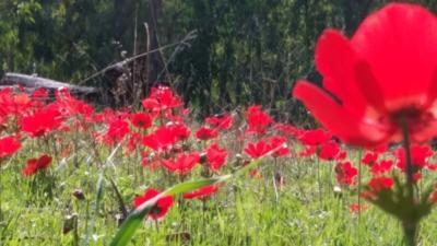 La beauté des champs d'anémones dans le sud d'Israël attire les visiteurs locaux (photo : Monique Korolnyk).