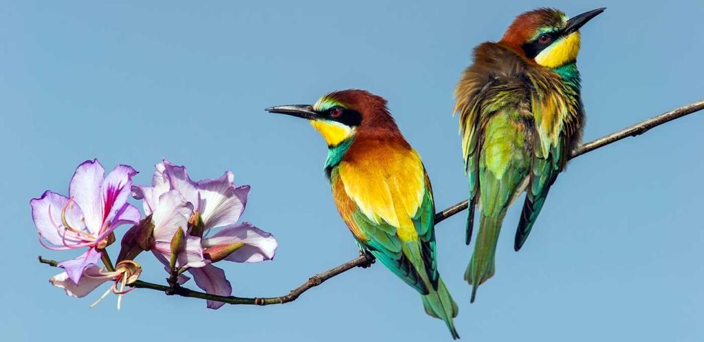 Un couple de guépiers d'Europe dans le parc ornithologique d'Eilat (photo : Avi Meir/Eilat Birding Center)